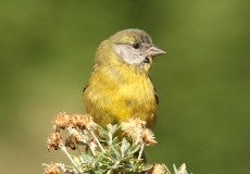 Patagonia Yellow Finch