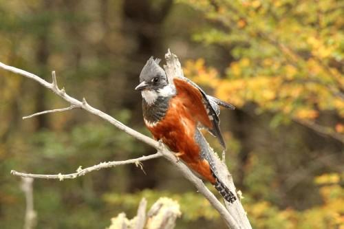 Ringed kingfisher (6)