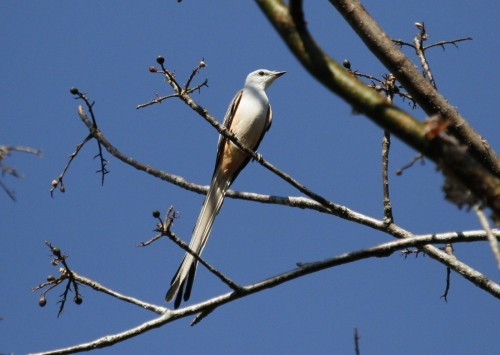 Scissor tailed flycatcher (3)