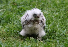 Sparrow Hawk Chick