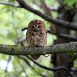 Tawny owl (4)