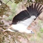 White bellied sea eagle Indonesia