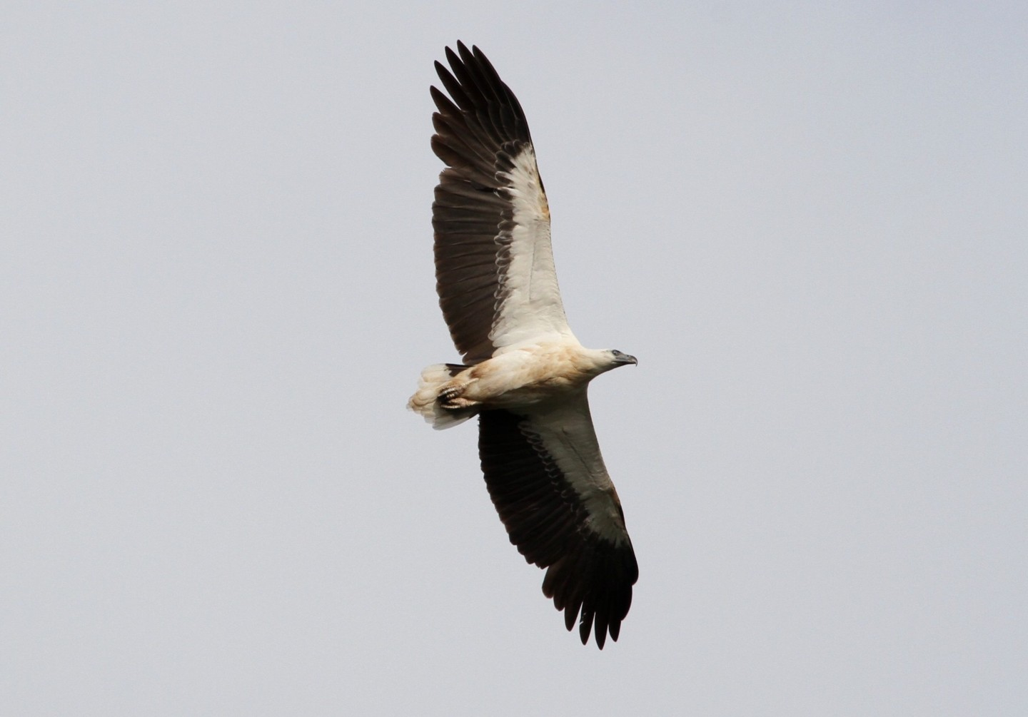 White Bellied Sea Eagle - Ray Brown Wildlife Photography  ef1ffcb342