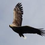 White tailed eagle (12)