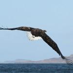 White tailed eagle (9)