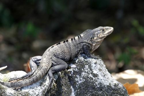 Iguana (5) Costa Rica