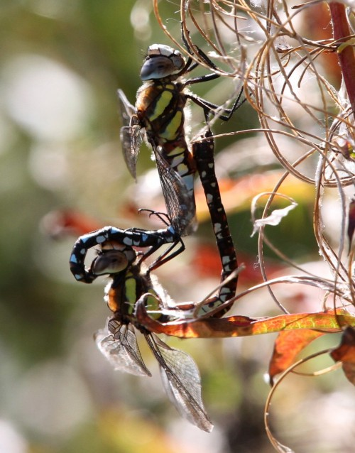 Dragonfly Migrant Hawker