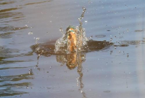 Kingfisher (19)