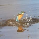 Kingfisher (20)