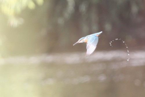 Kingfisher (24)