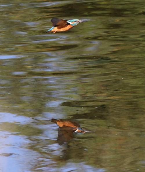 Kingfisher (32)