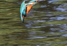Kingfisher flying