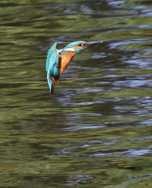 Kingfisher (33)