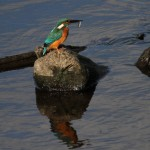Kingfisher (35)
