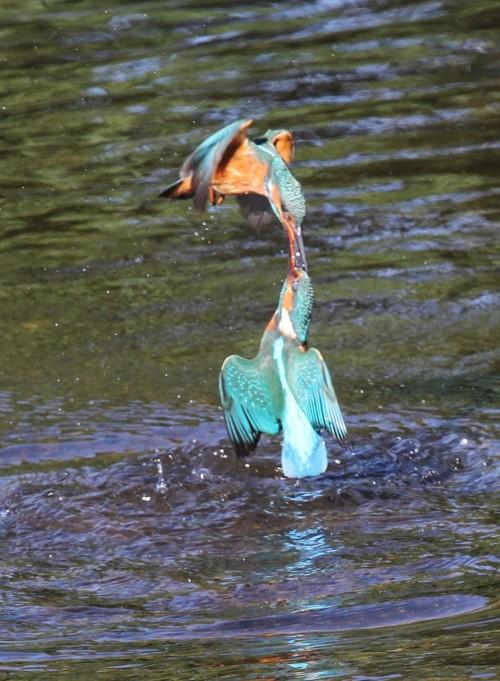 Kingfishers (14)