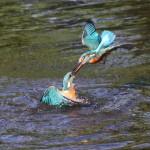 Kingfishers (15)