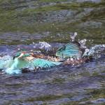 Kingfishers (16)