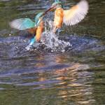 Kingfishers (17)