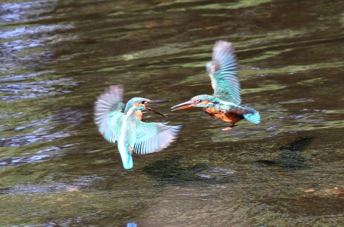 Kingfishers (2)
