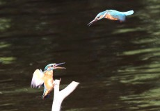 Kingfishers fighting