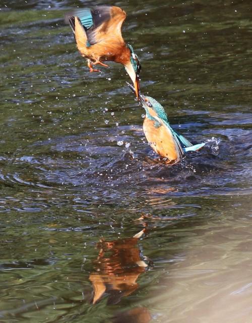 Kingfishers (4)