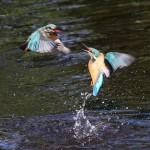 Kingfishers (5)