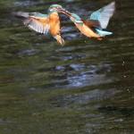 Kingfishers (7)