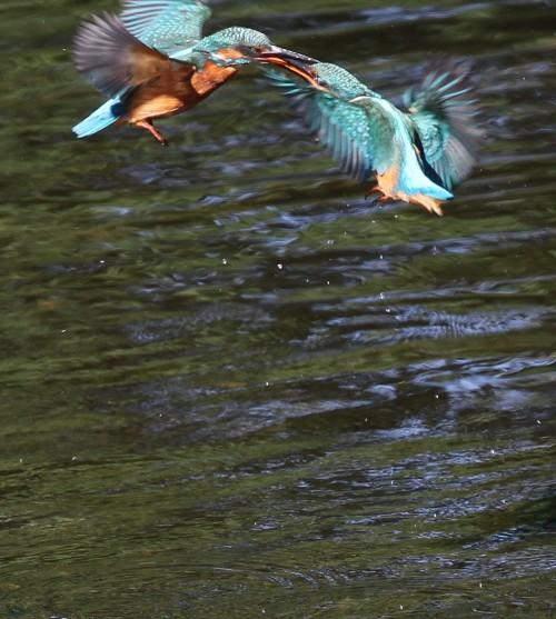 Kingfishers (8)
