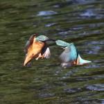 Kingfishers (9)