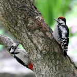 great spotted woodpecker (6)