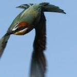 European bee-eater (3)