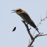 European bee-eater (6)