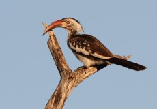 Southern Red Billed Hornbill