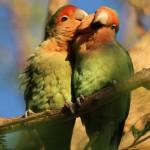 Rosy faced lovebirds (2)