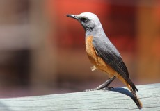 Short Toed Rock Thrush