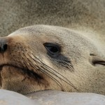 cape fur seal (2)