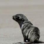 cape fur seal (4)
