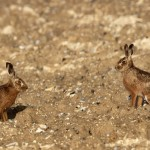 Brown Hare (3)