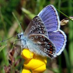Butterfly Common Blue