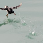 Atlantic Puffin (4)