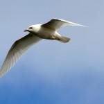 Ivory Gull (2)
