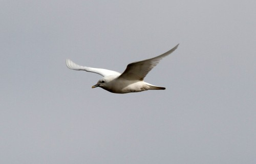 Ivory Gull (4)