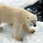 Polar Bear (10)