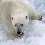 Polar Bear (11)