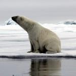 Polar Bear (13)