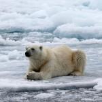 Polar Bear (16)