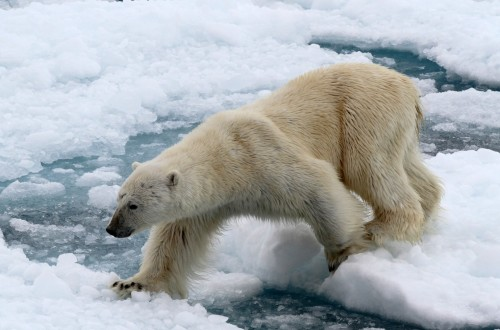 Polar Bear (19)
