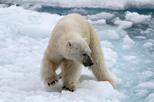 Polar Bear (23)