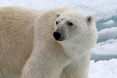 Polar Bear (26)