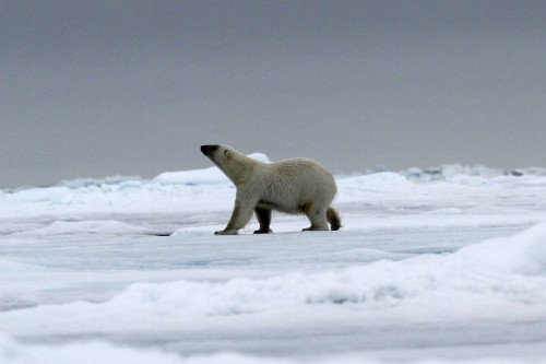 Polar Bear (32)